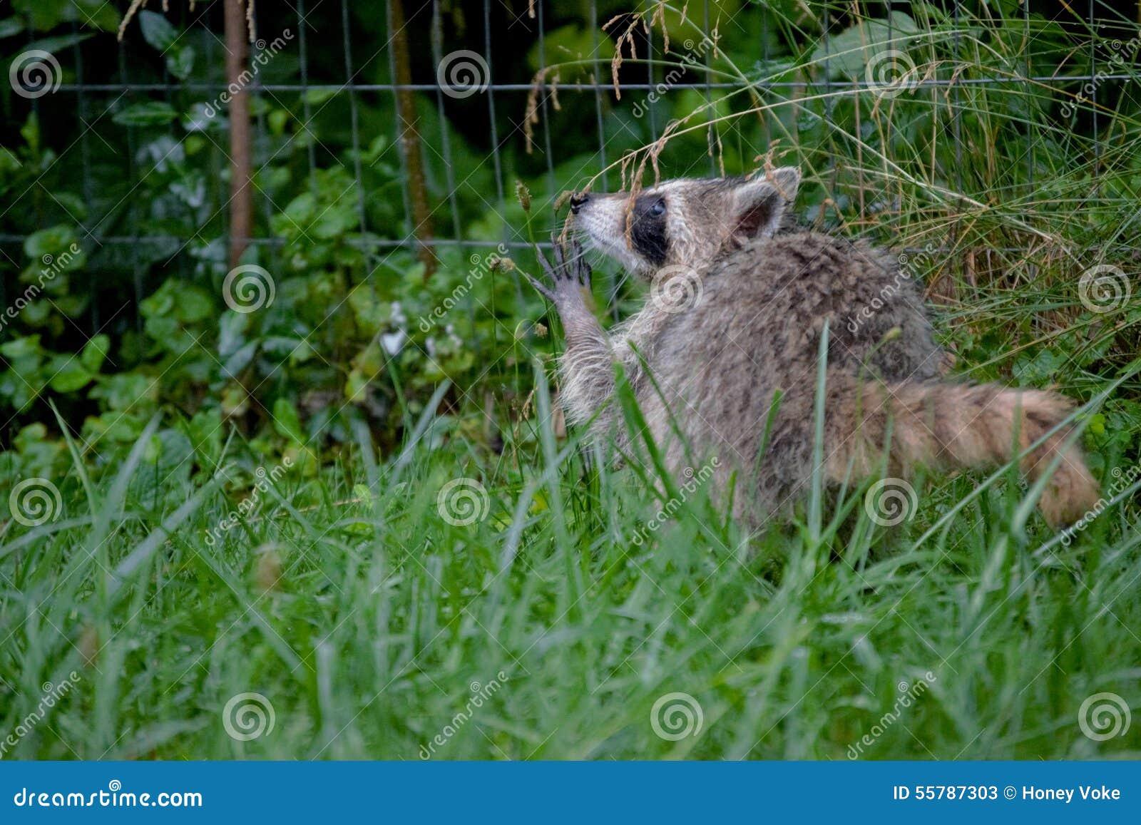 raccoon backyard young playing weed