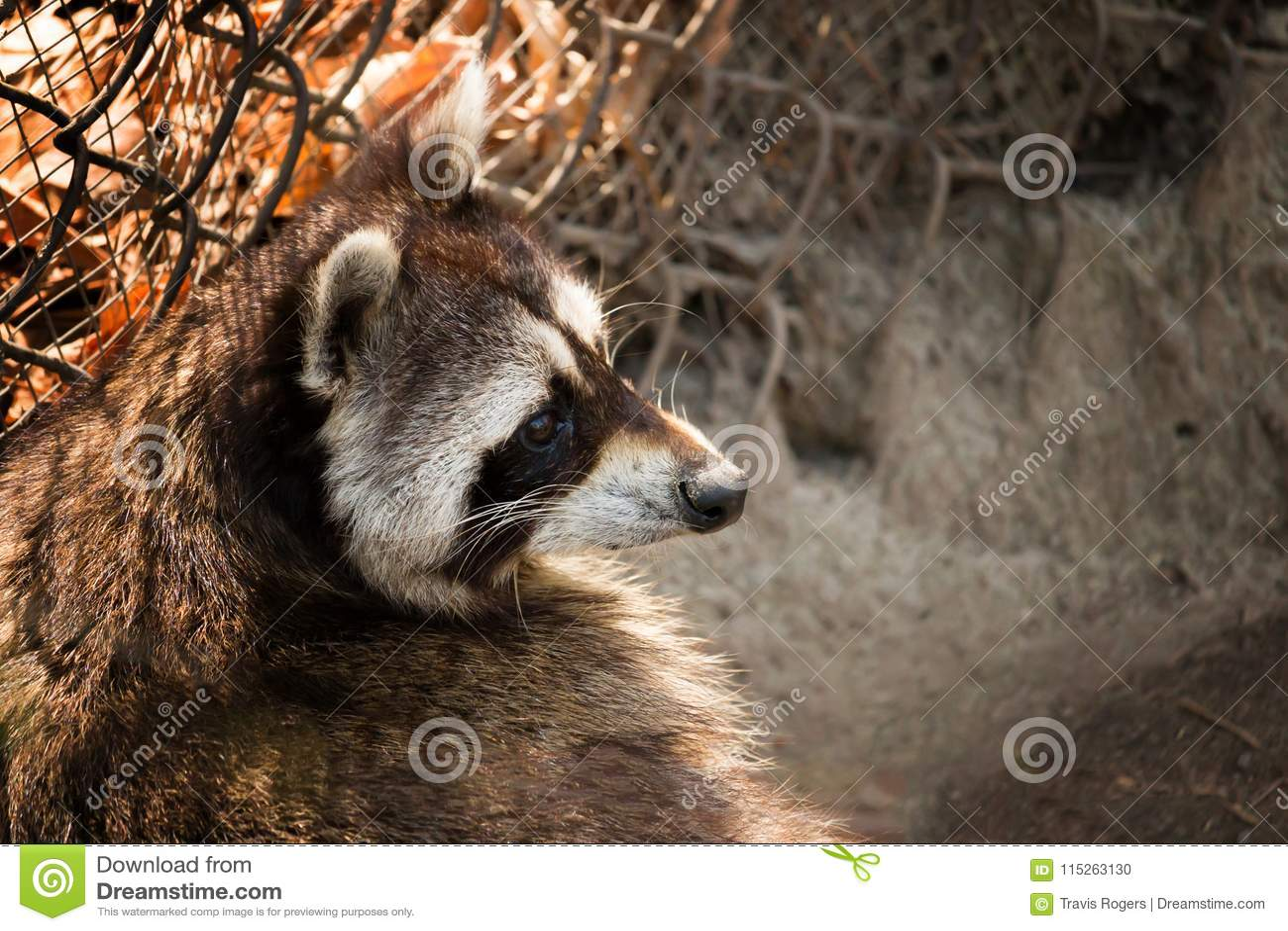 Raccoon curioso