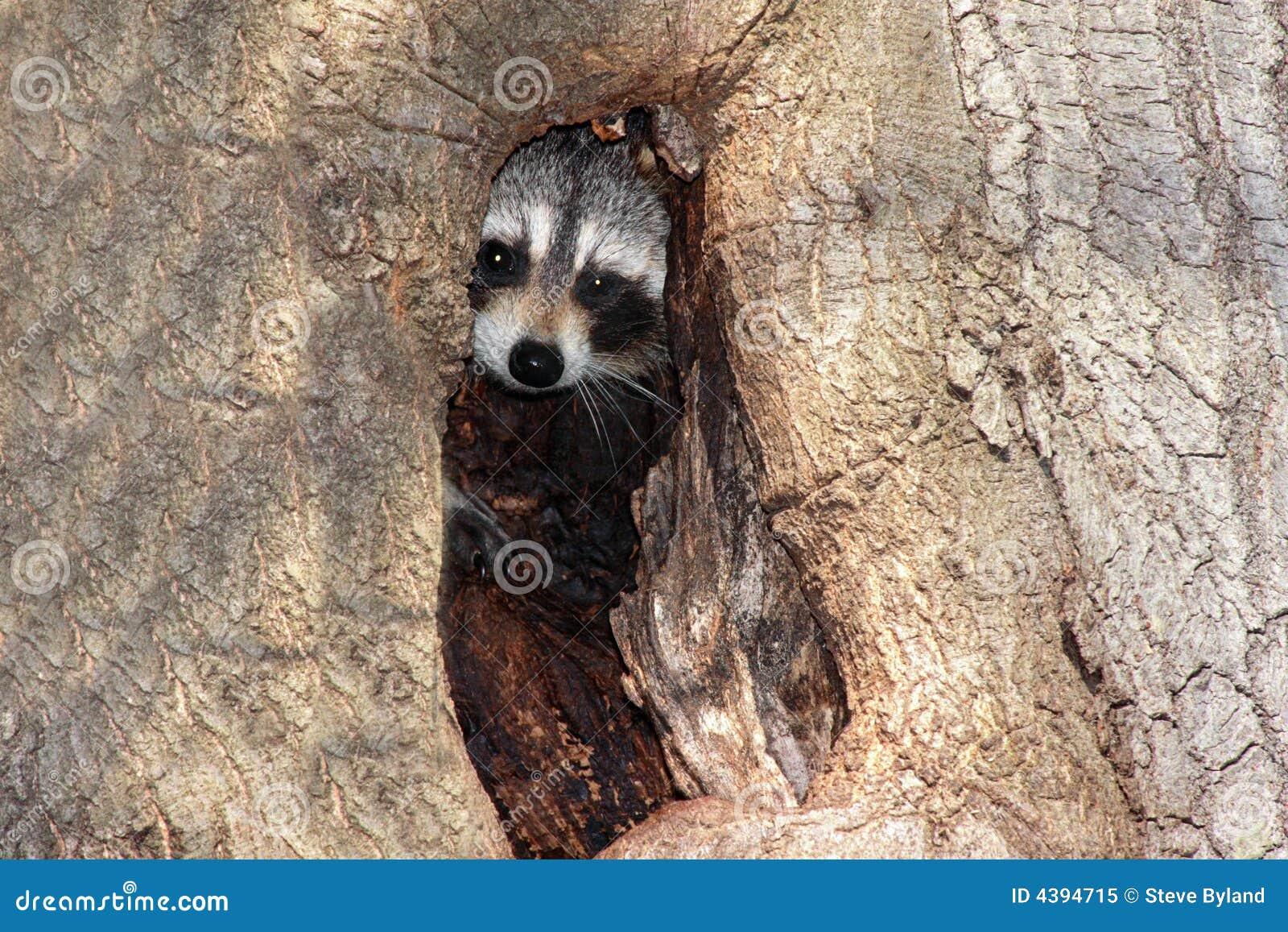 Raccoon do bebê (lotor do Procyon)