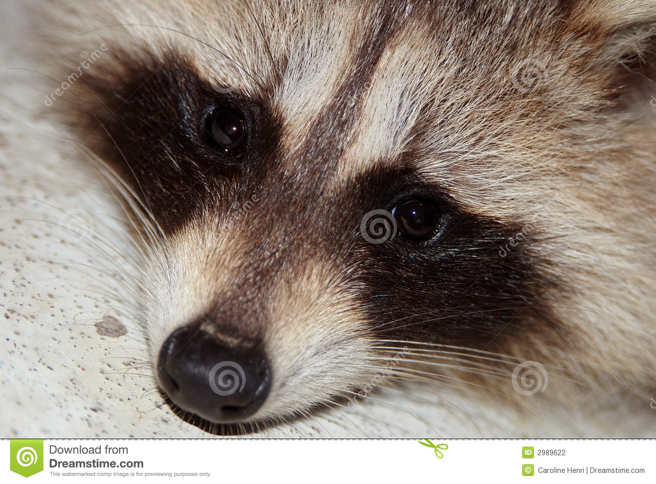 Raccoon Face Drawing Images for - raccoon face. Raccoon Face Clip Art