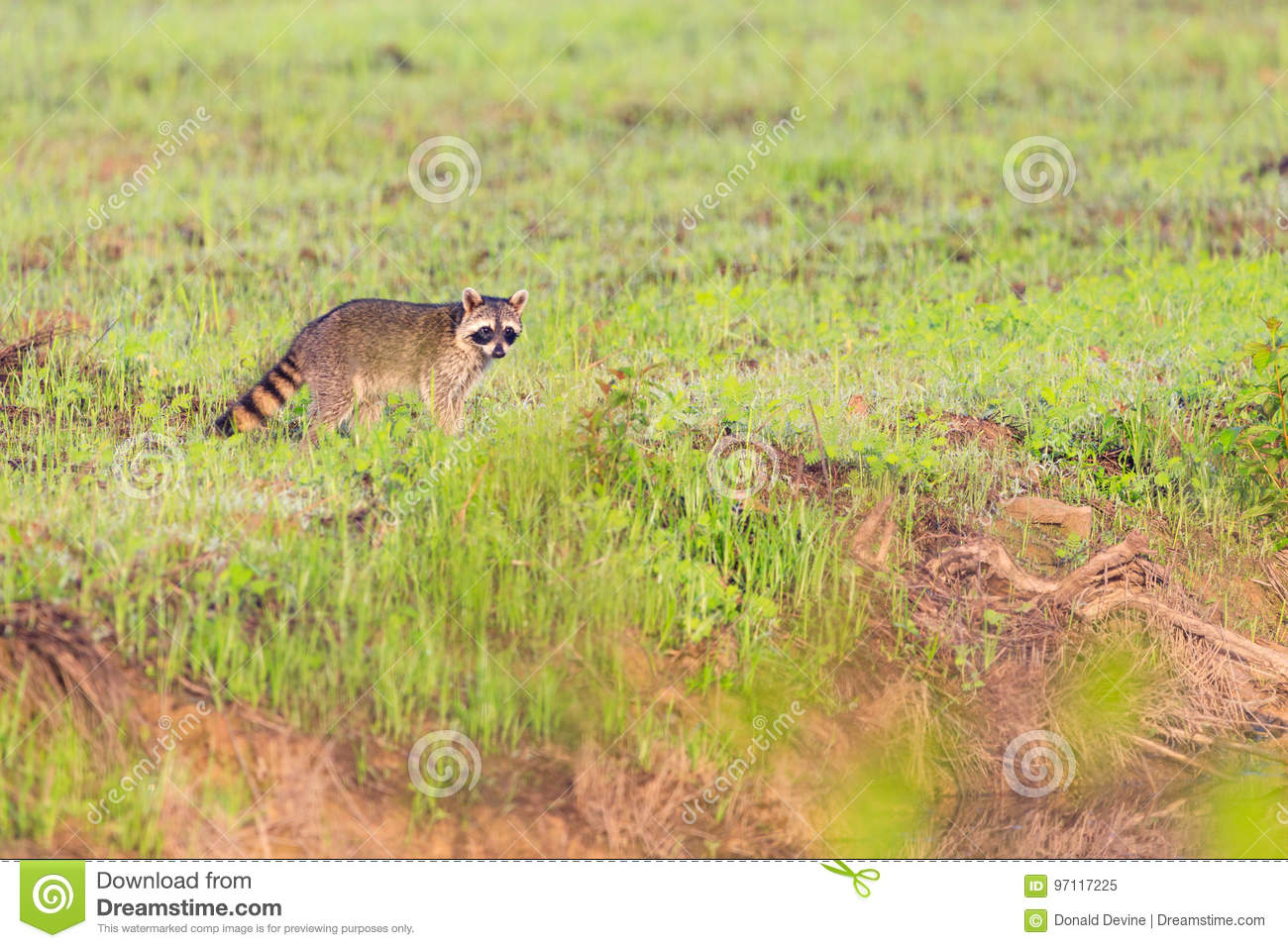 A raccoon foraging for breakfast in the early hours of the morning at Bald Knob Wildlife Refuge