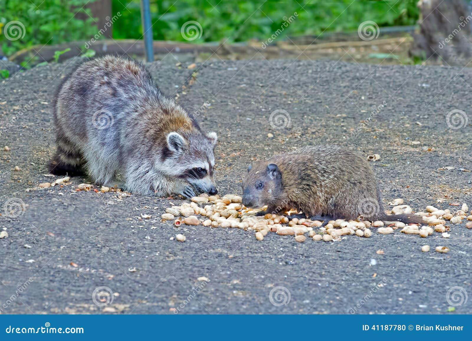 Raccoon and Groundhog