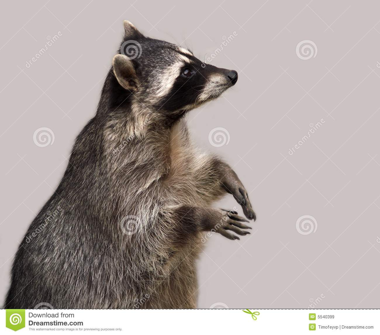 The Raccoon Isolated On Grey Royalty Free Stock Images ...