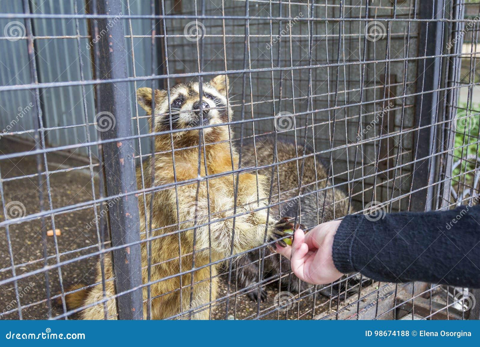 Raccoon at the Limpopo Zoo. Nizhny Novgorod, Russia.