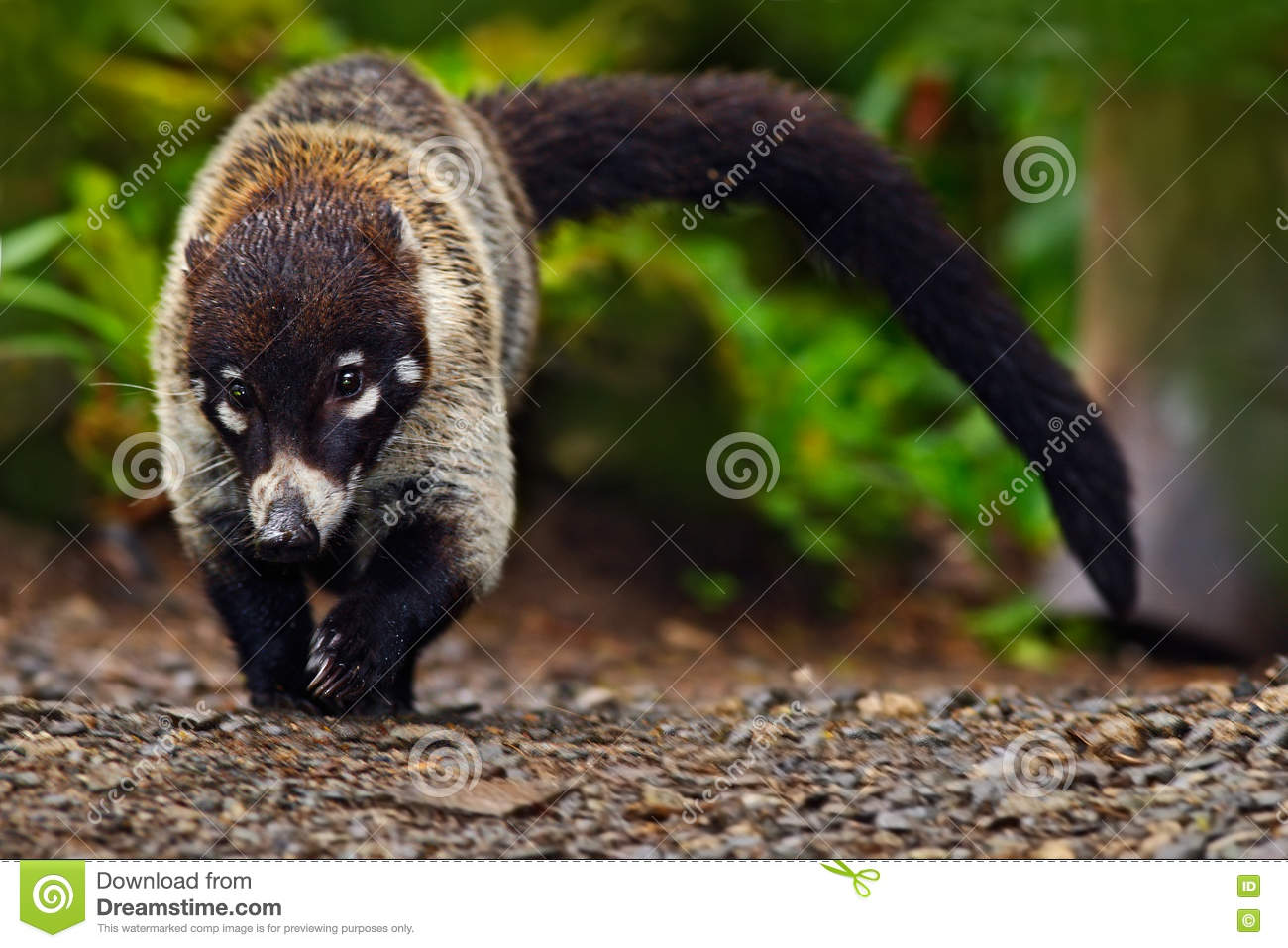 Raccoon, Procyon lotor, walking on white sand beach in National Park Manuel Antonio, Costa Rica, Raccoon in the forest. Raccoon wi