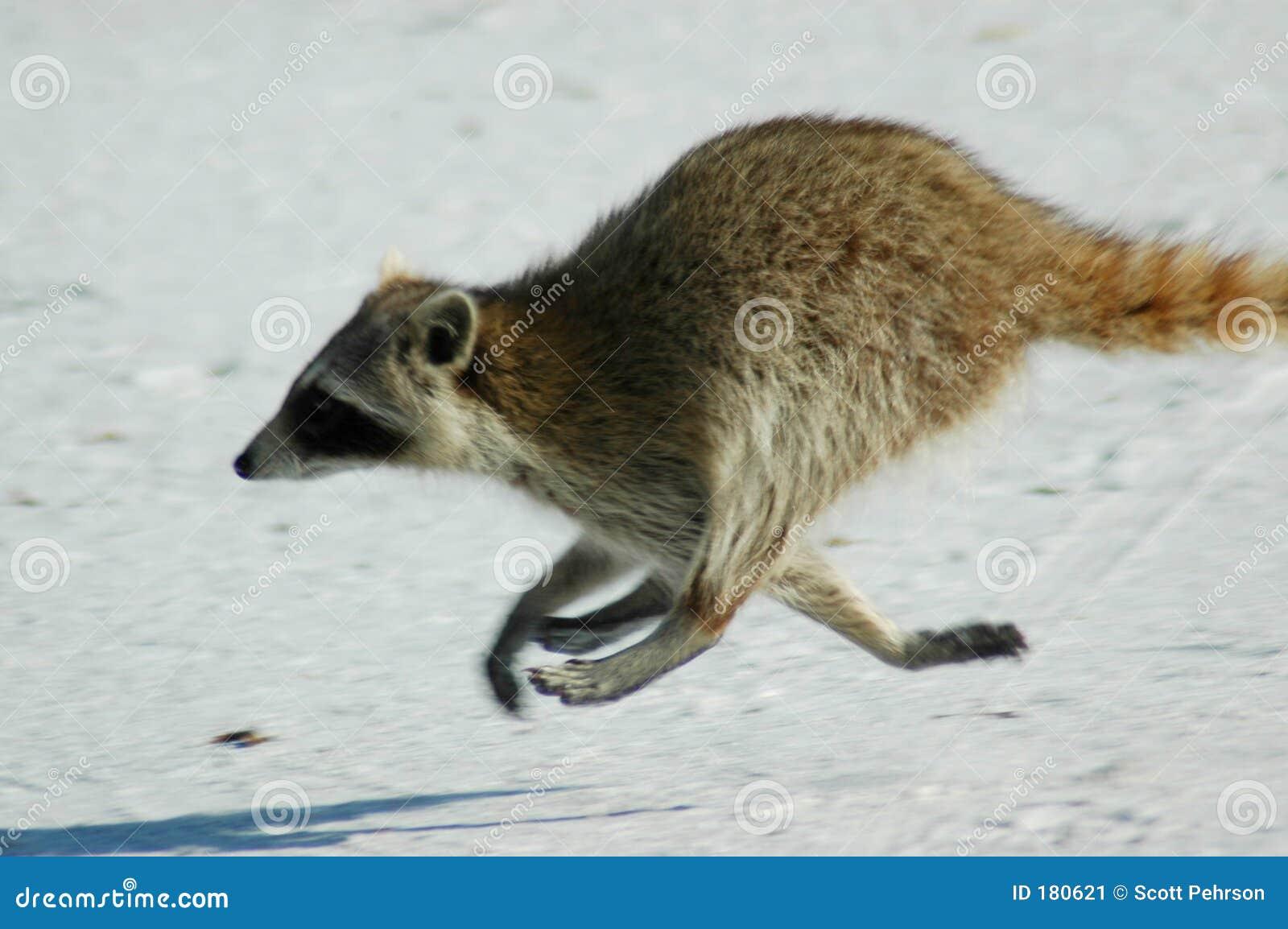 Raccoon que funciona na praia