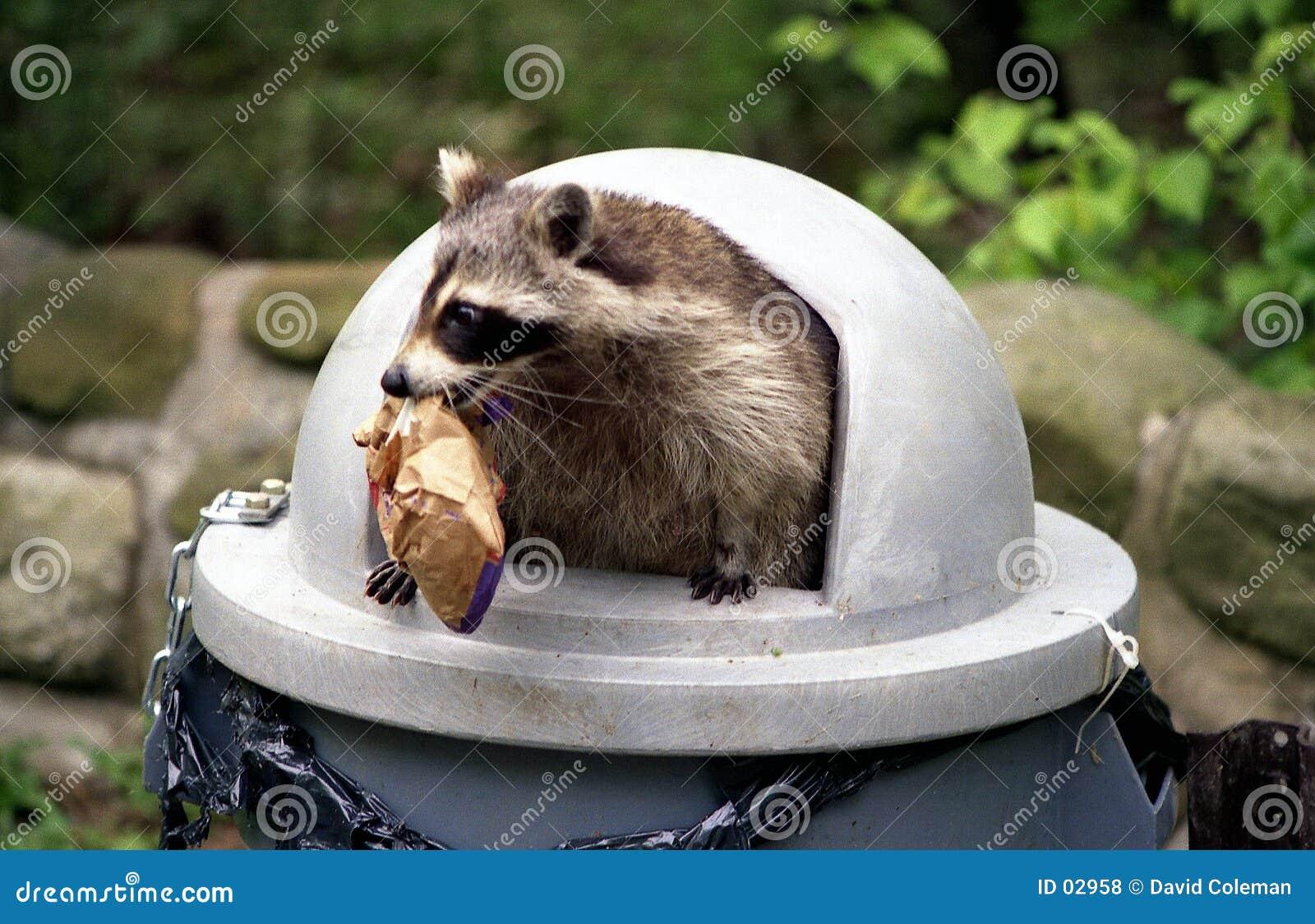 Raccoon que invade o balde do lixo.