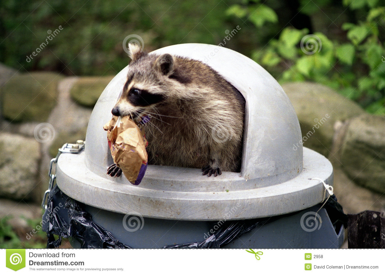 Raccoon raiding trash can.