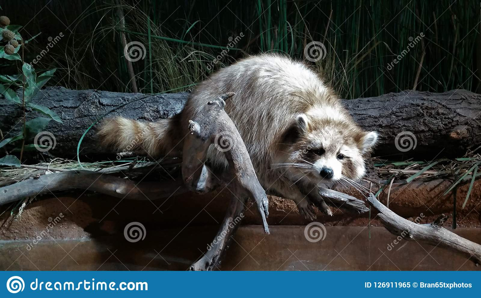 A Raccoon Resting On A Limb