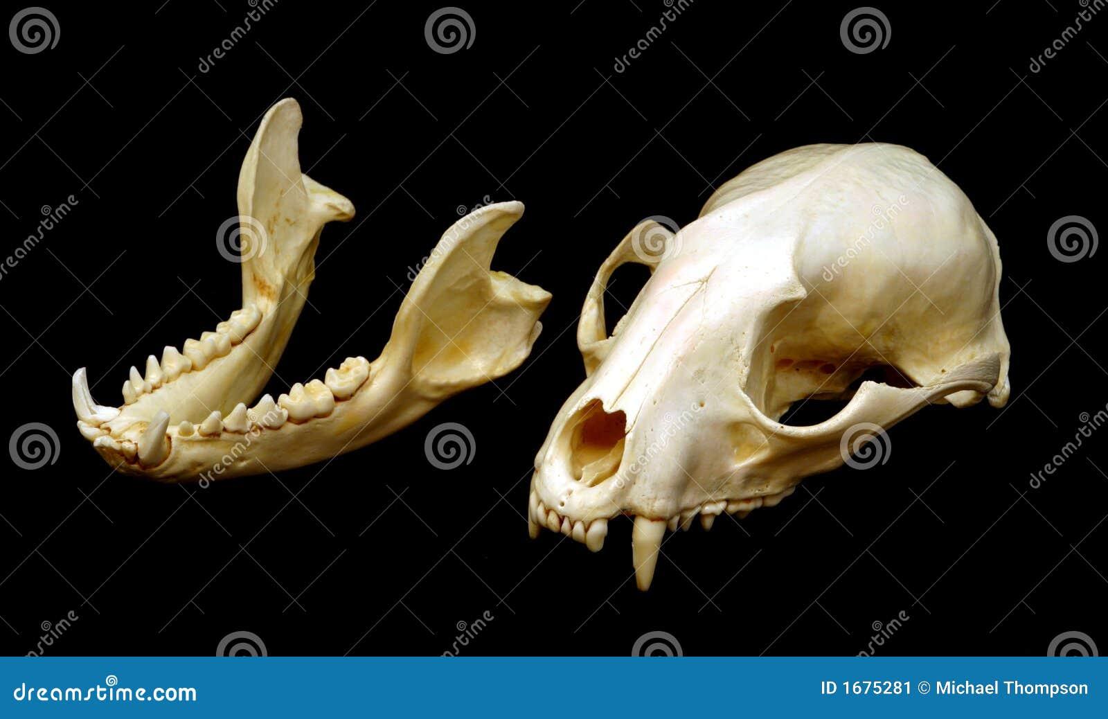Raccoon Skull stock image  Image of teeth, raccoon, bone