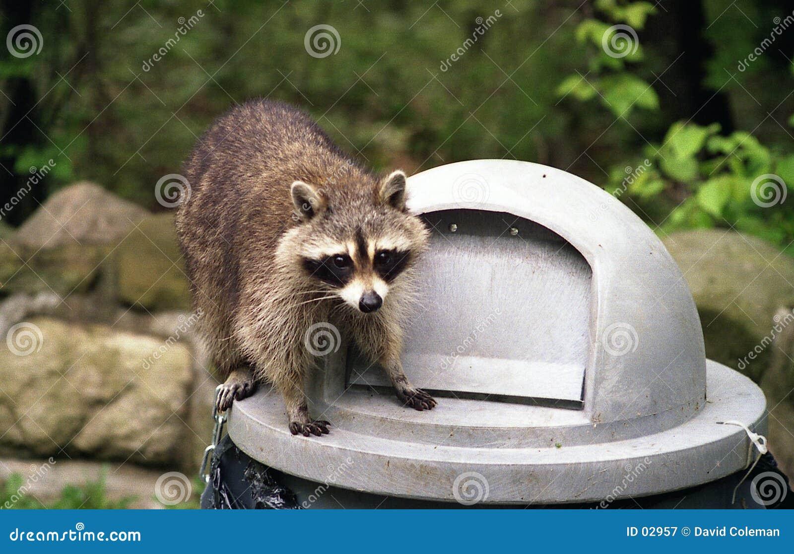 Raccoon sulla latta di immondizia