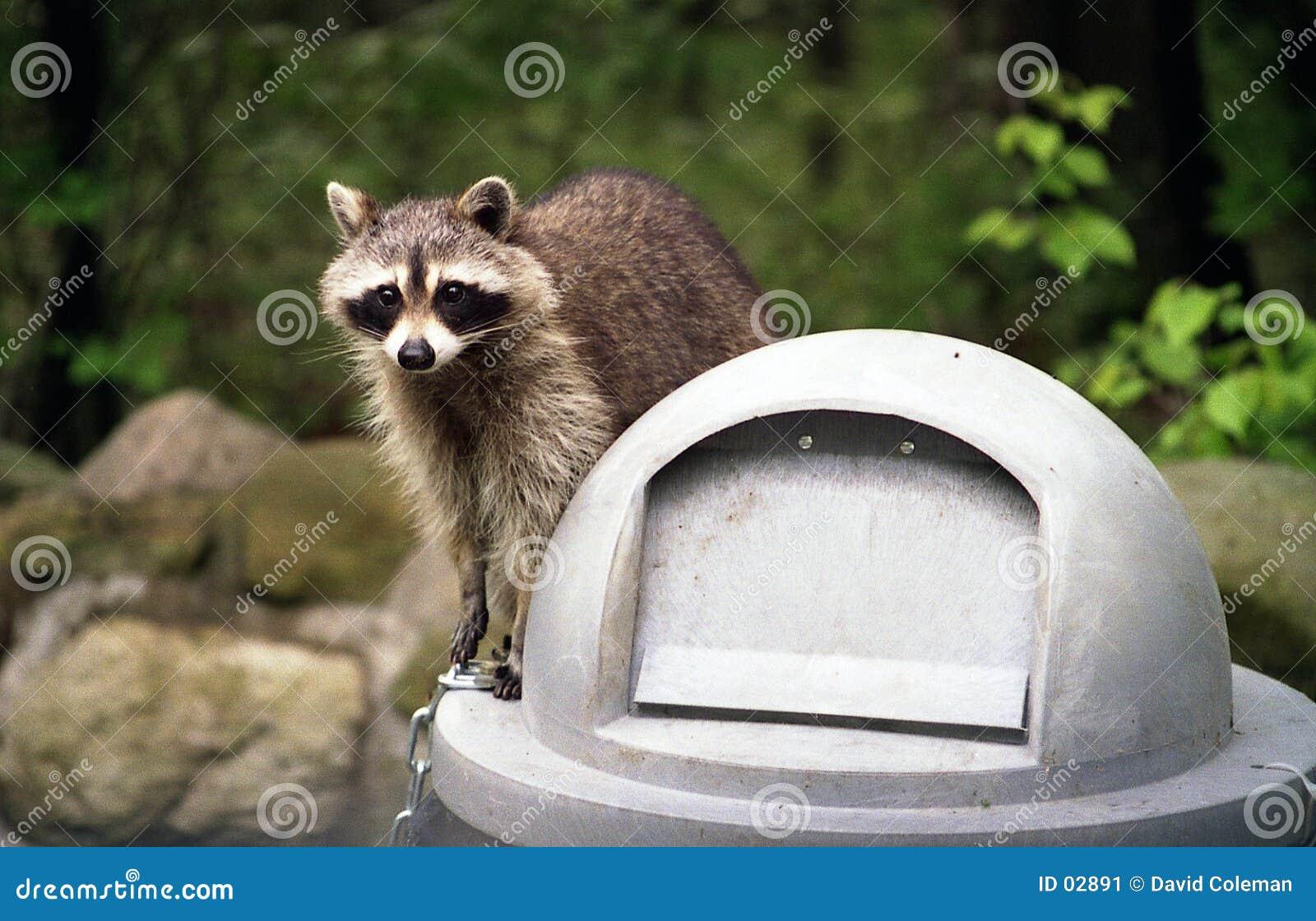 Raccoon on Trashcan