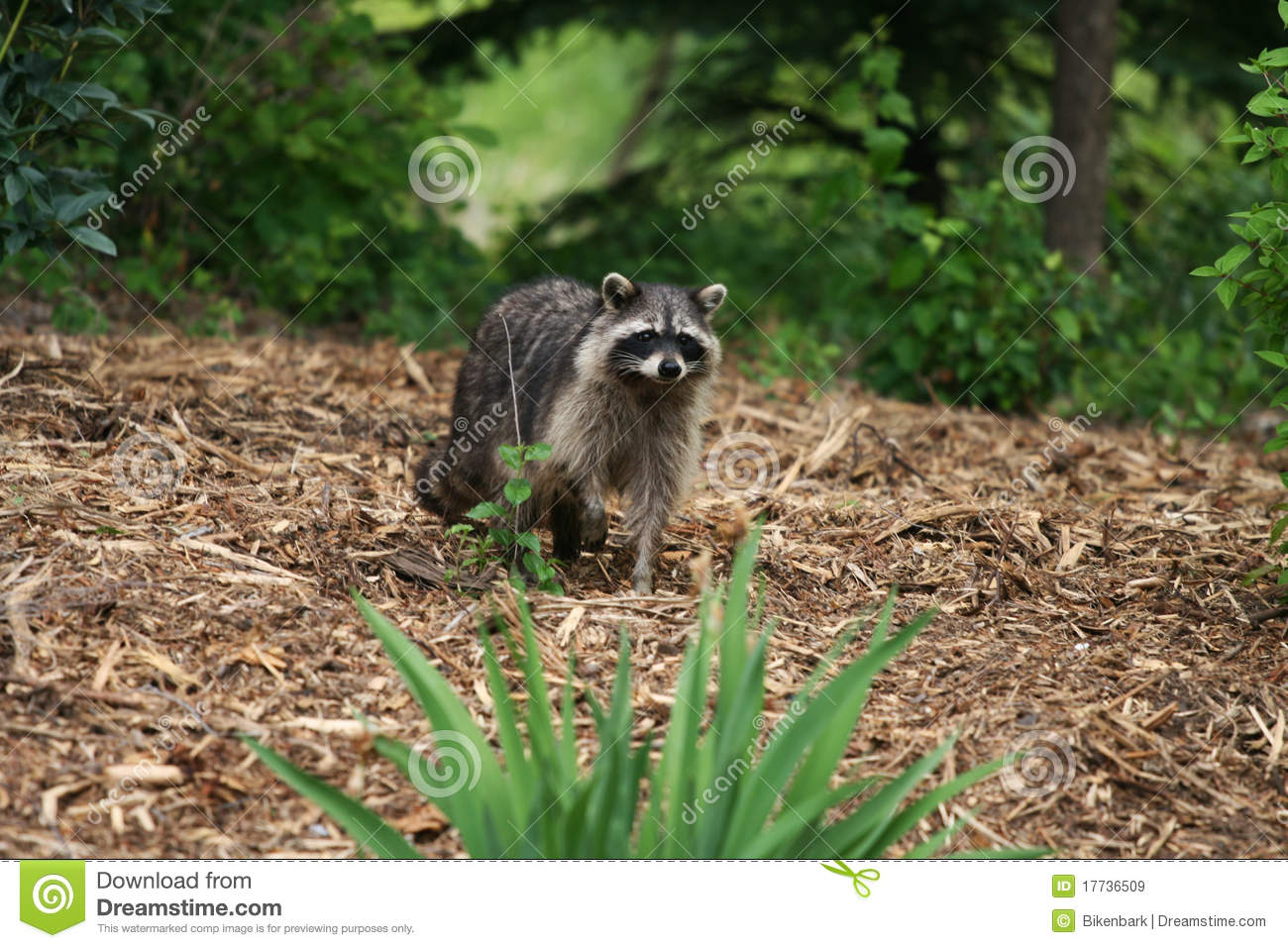 raccoon in yard royalty free stock images image 17736509