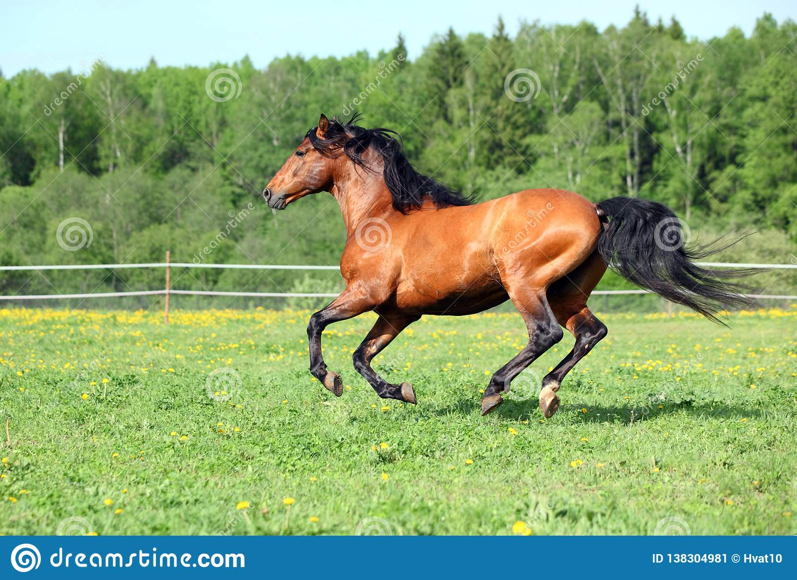 Race horse running in paddock on the green meadow