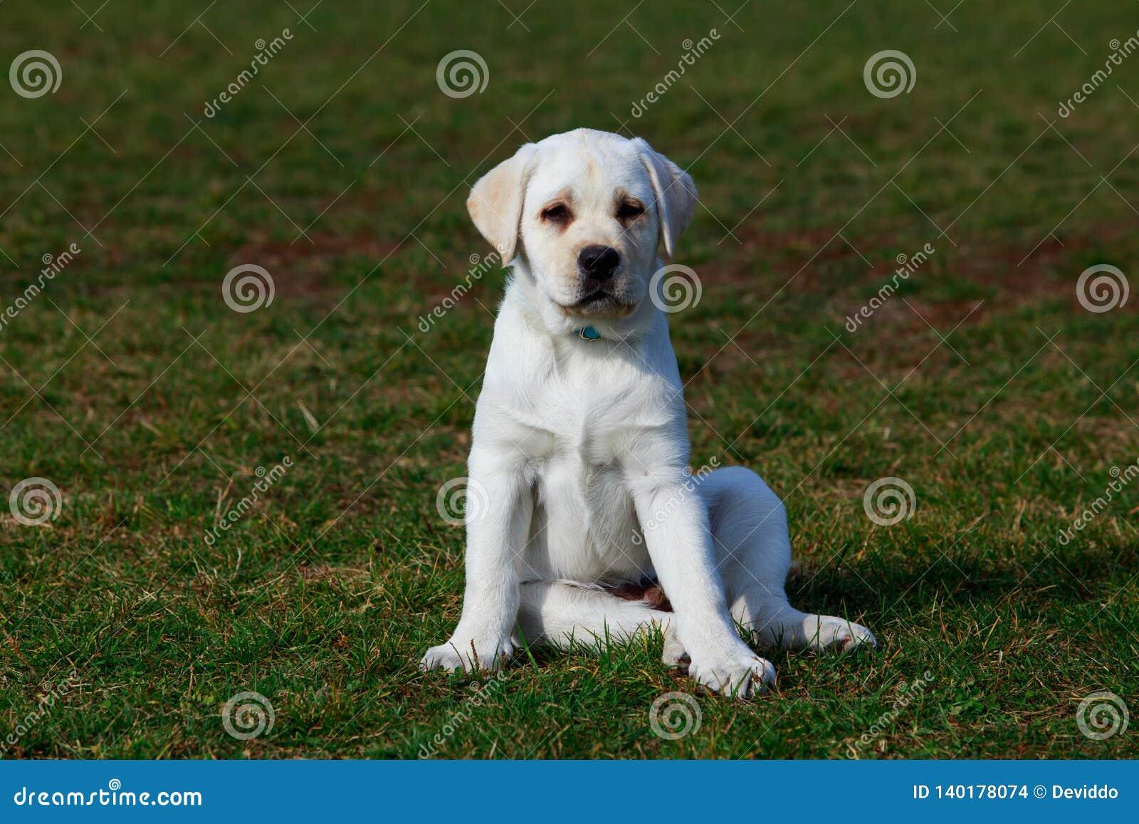 Race Labrador de chien