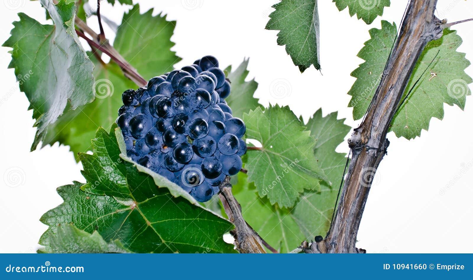 Racemation виноградины