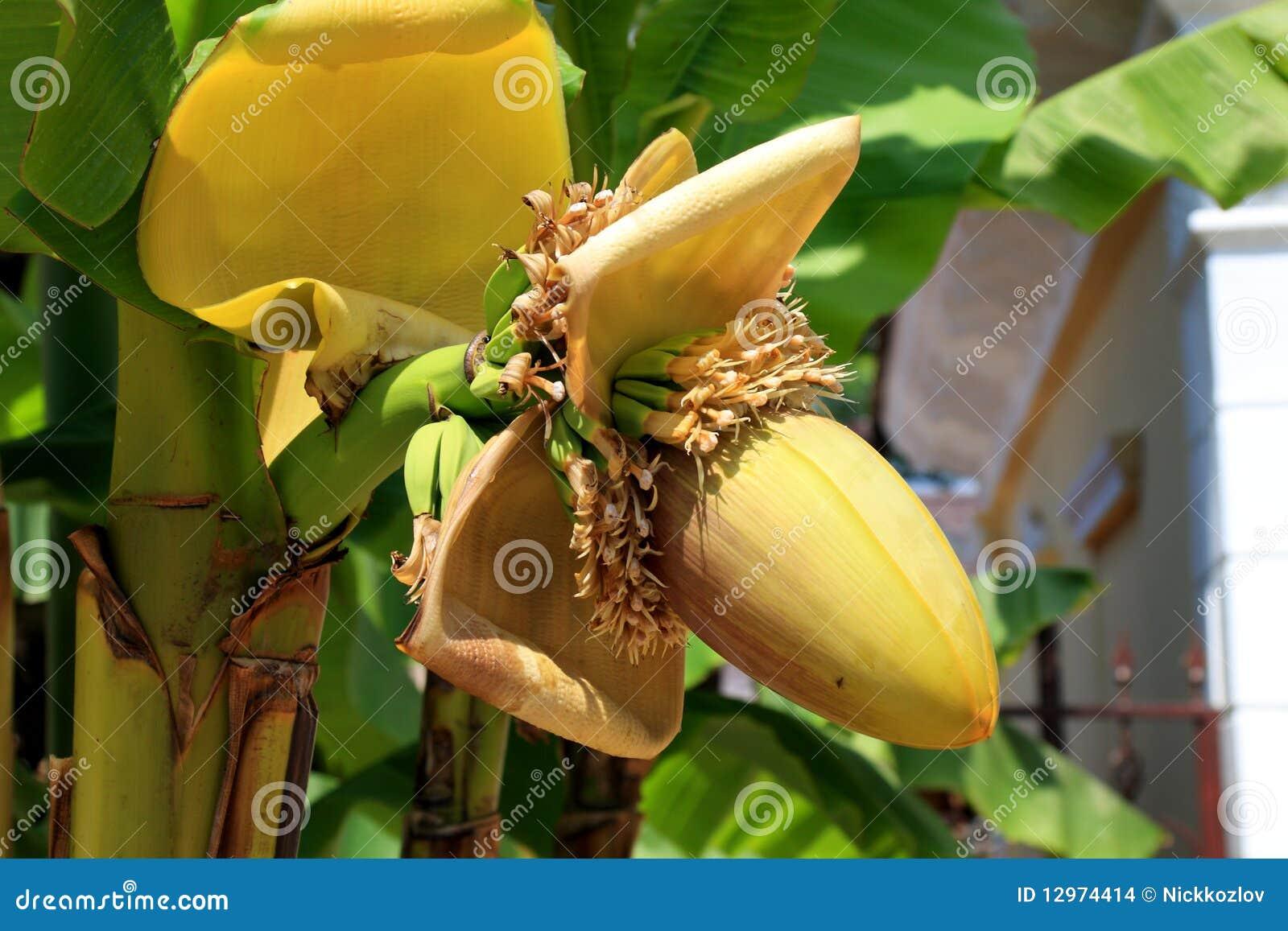 raceme der bananenpalme stockbilder bild 12974414. Black Bedroom Furniture Sets. Home Design Ideas