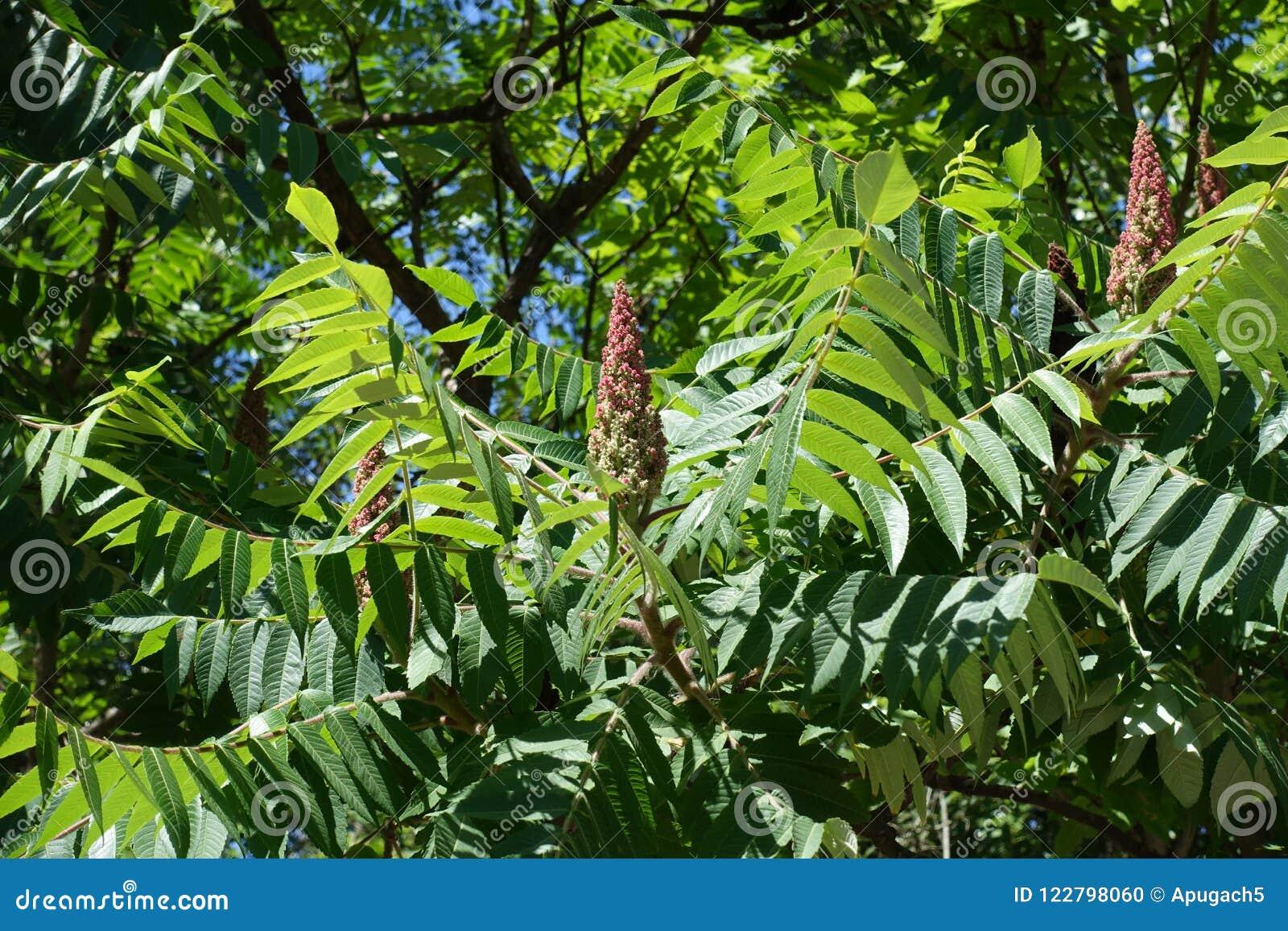 Racimo cónico verde rosáceo de árbol de vinagre