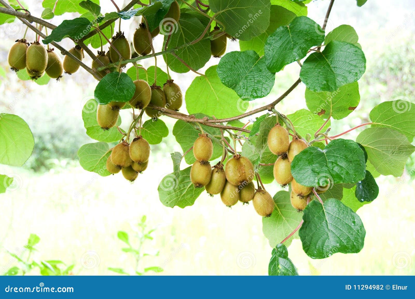 Racimo grande de fruta de kiwi