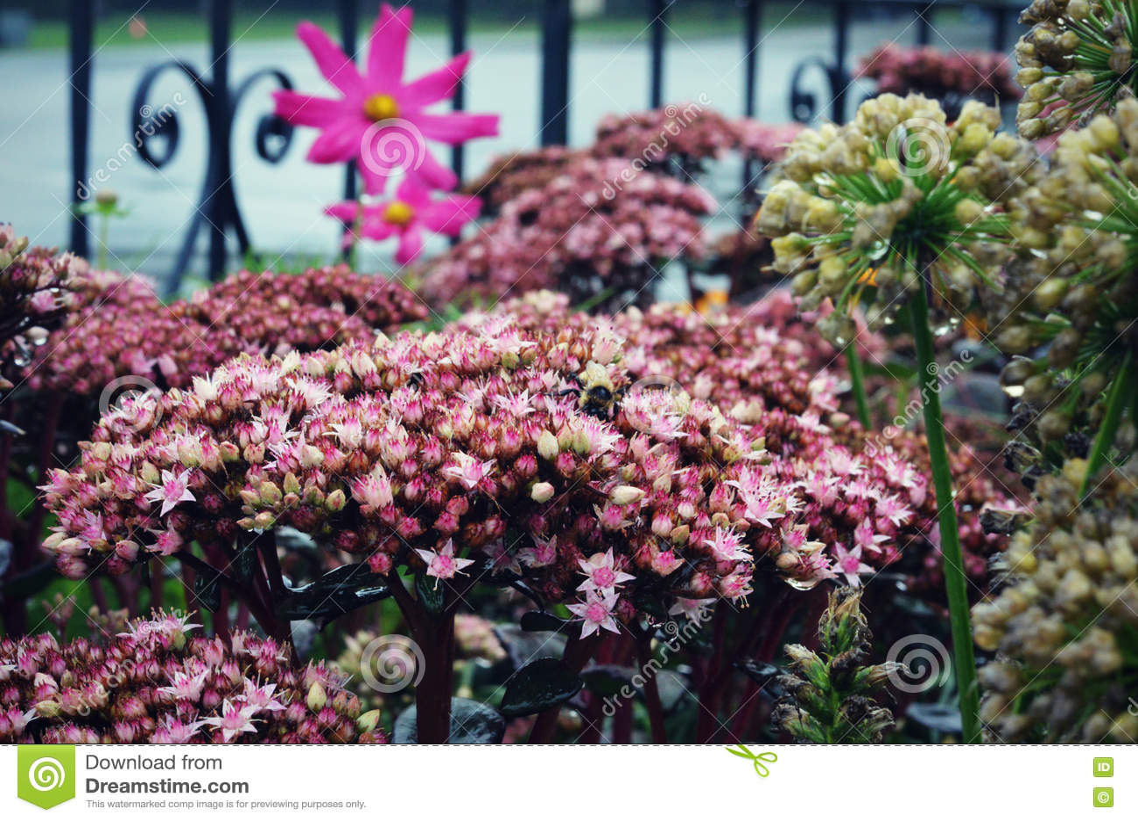 Racimos de estrella rosada minúscula como las flores