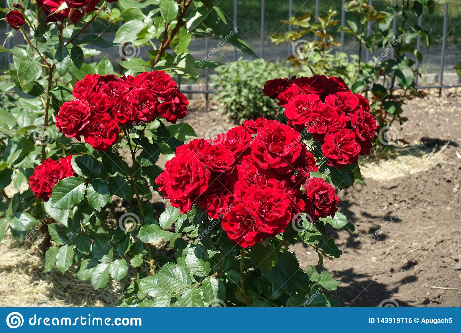 Racimos de flores rojas de rosas