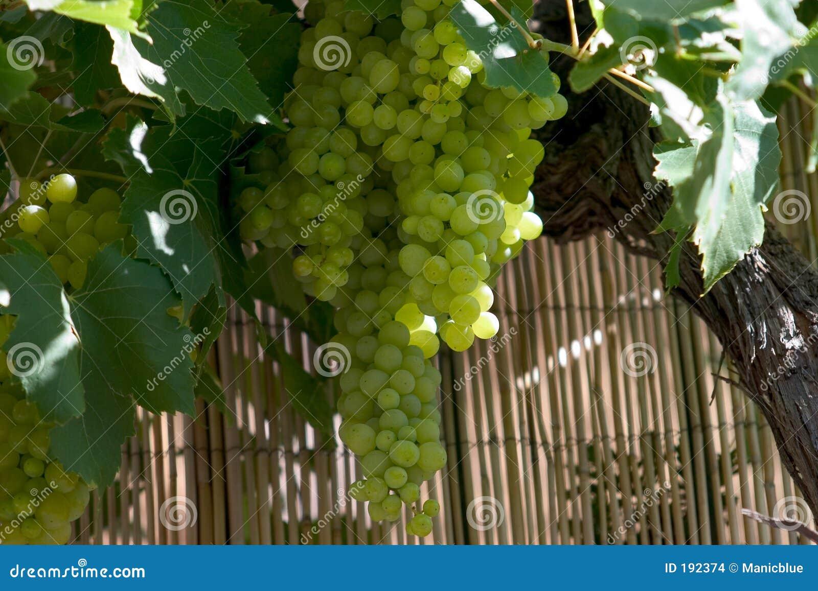 Racimos de la uva