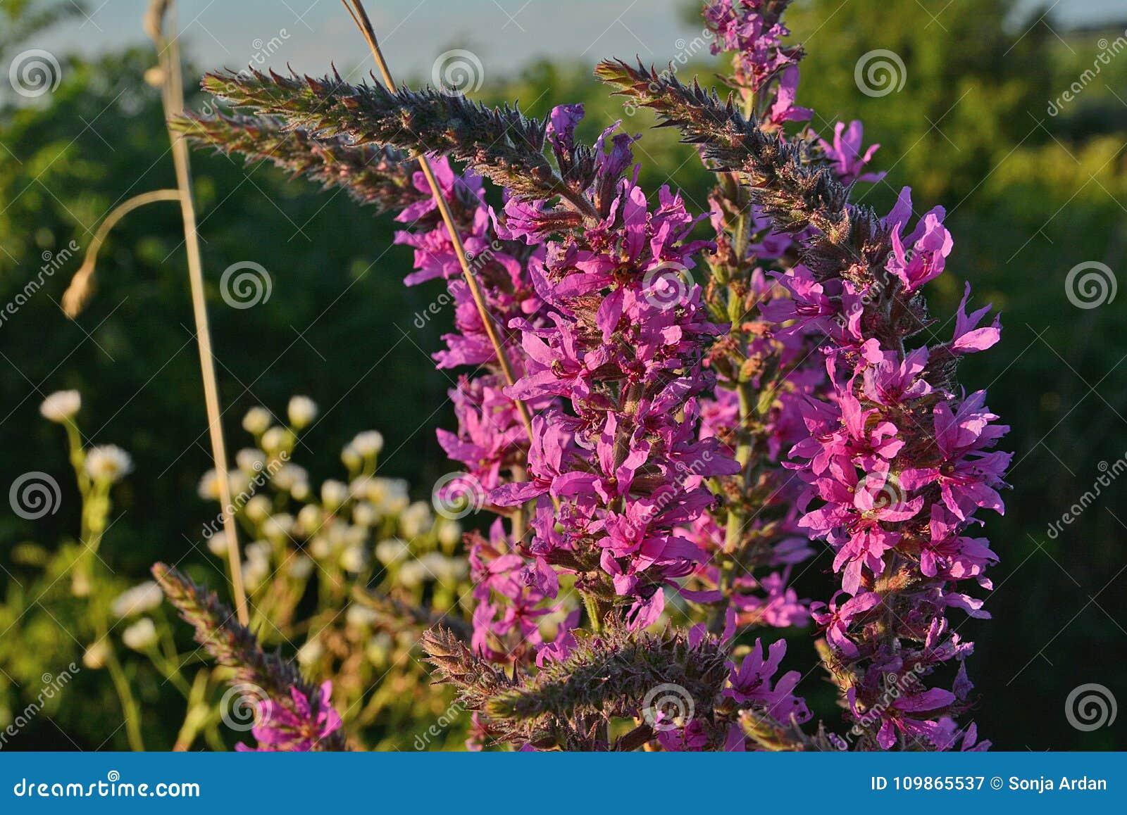 Racimos florecientes de pequeña flor rosada, planta floreciente entera