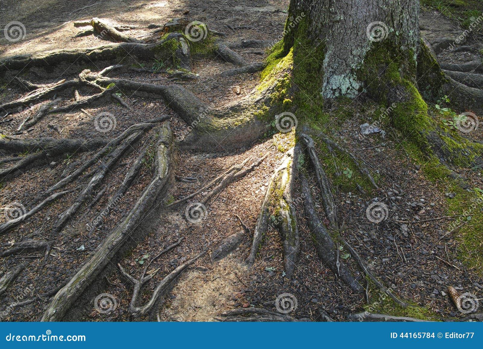 Racine d 39 arbre de sapin photo stock image du for t fond 44165784 - Sapin de noel avec racine ...