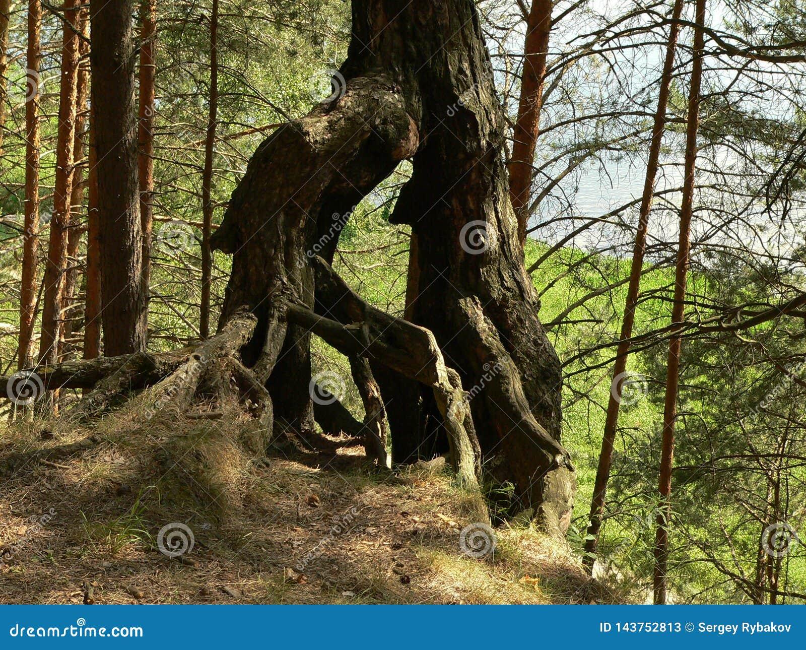 Racines bizarres de plexus de vieux arbres dans les bois près de Moscou