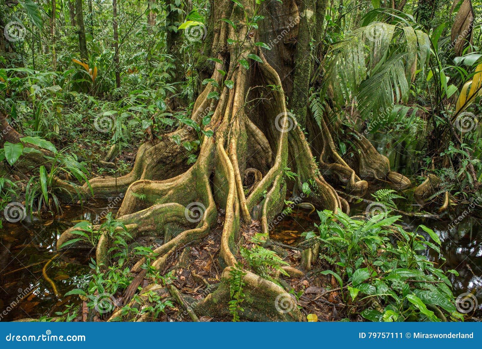 racines d 39 enroulement d 39 un arbre tropical image stock image du outside costa 79757111. Black Bedroom Furniture Sets. Home Design Ideas