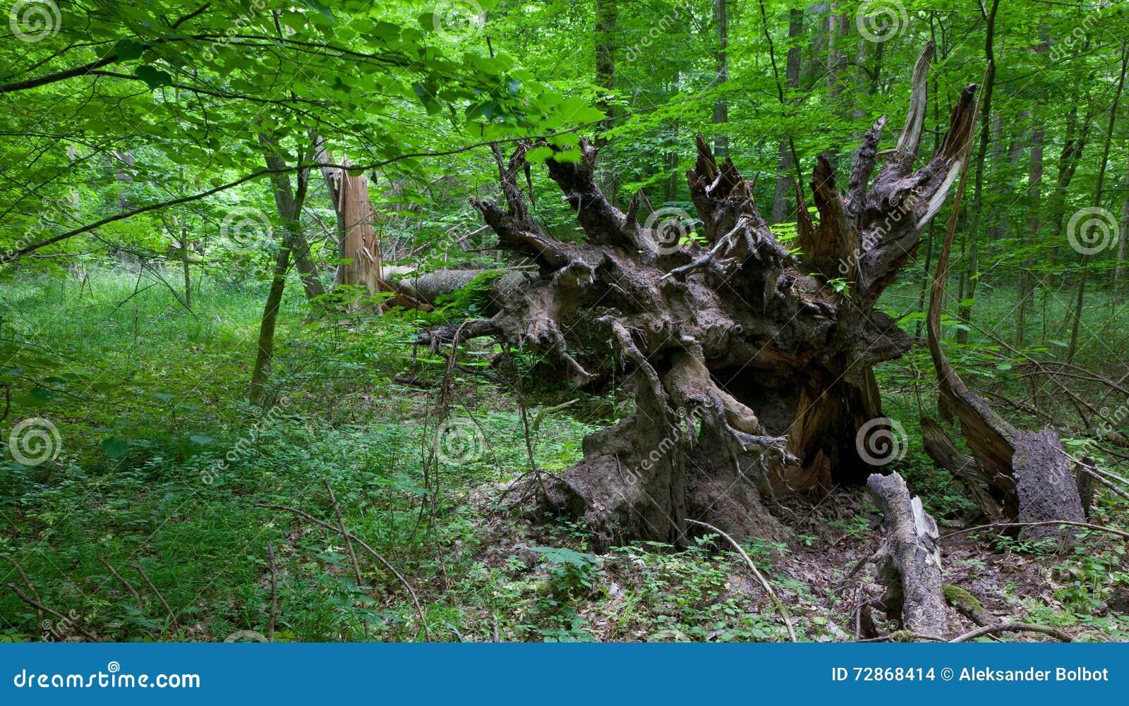 Racines impeccables cassées d arbre dans le support d été