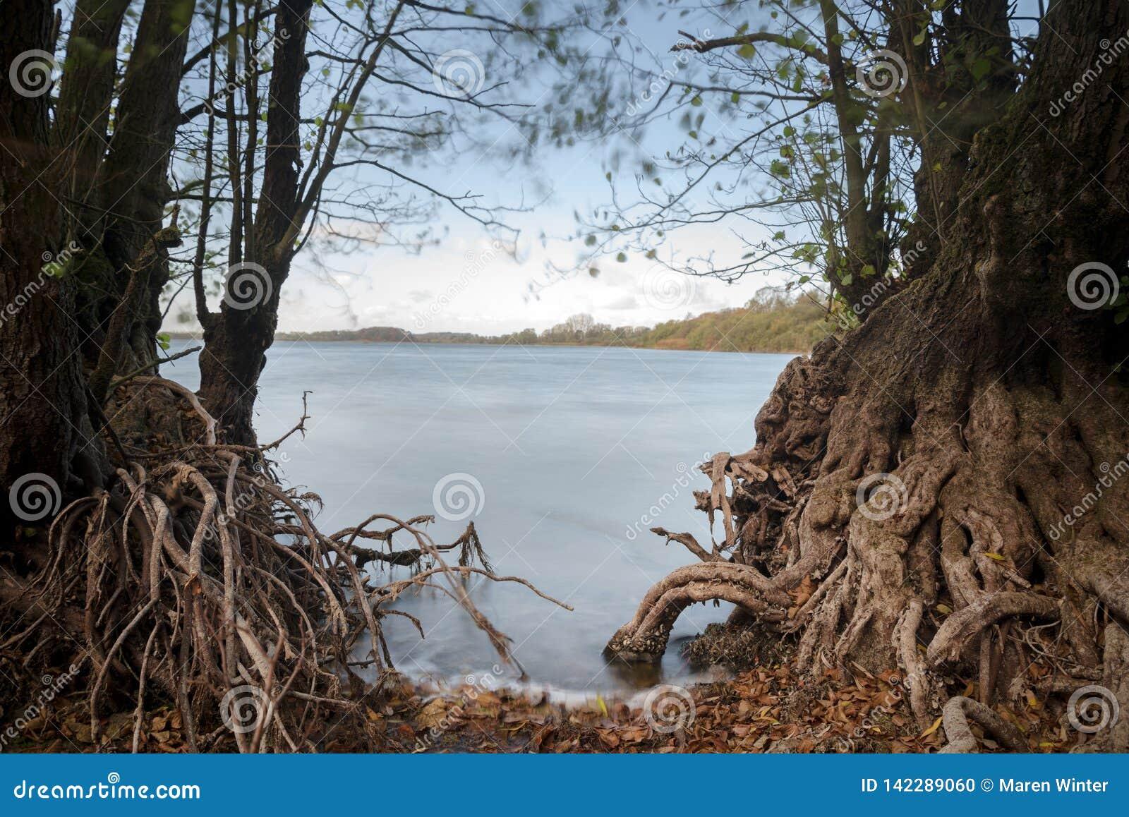 Racines nues des arbres d aulne sur le rivage de lac, l eau bleue lisse par exposition de long temps, l espace de copie