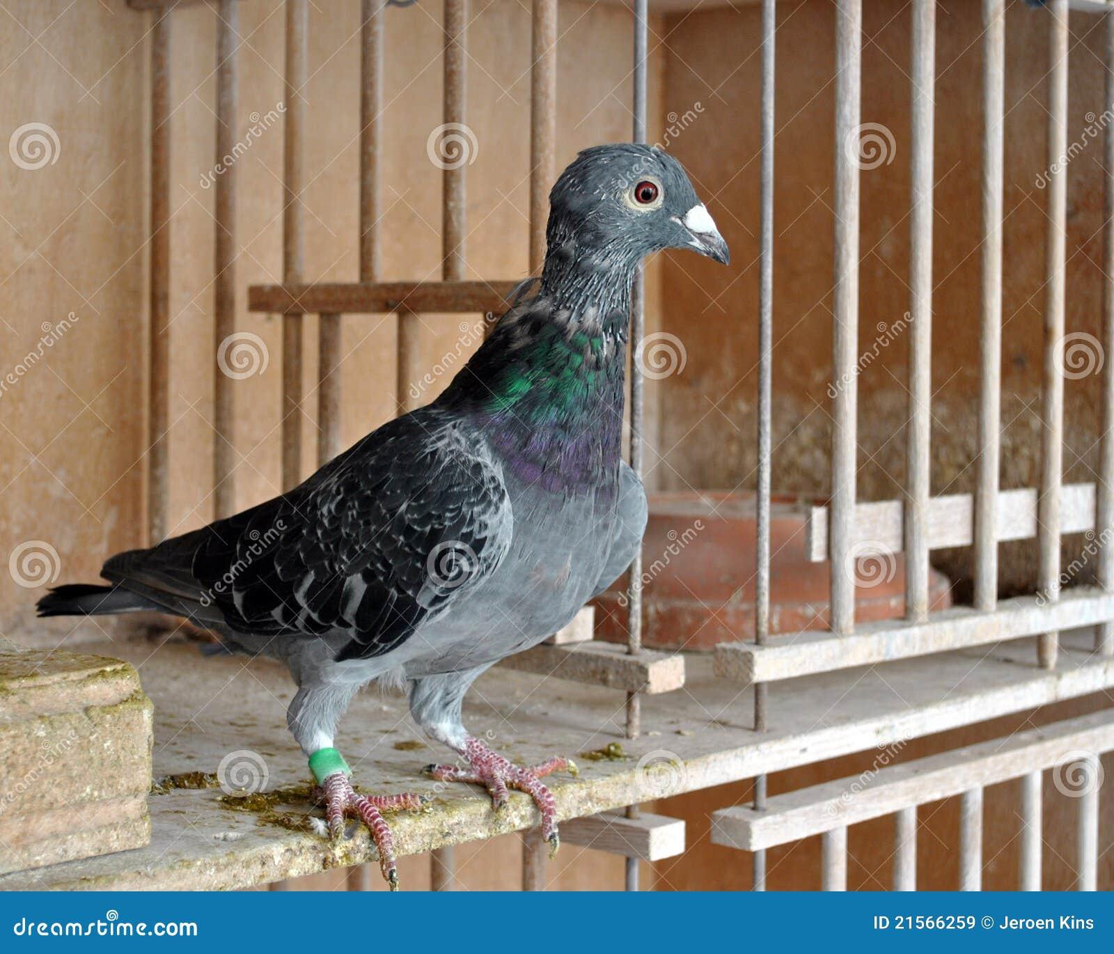 Pigeon free hd stock footage youtube.