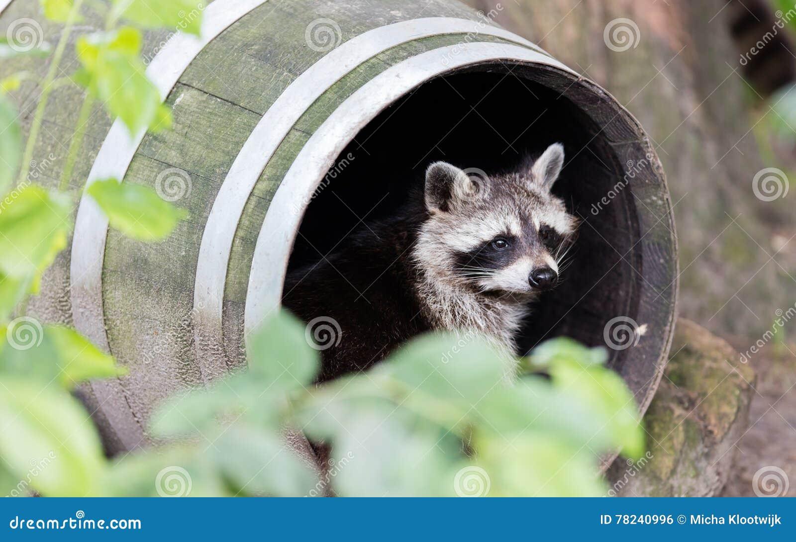 Racoon σε ένα βαρέλι, στήριξη