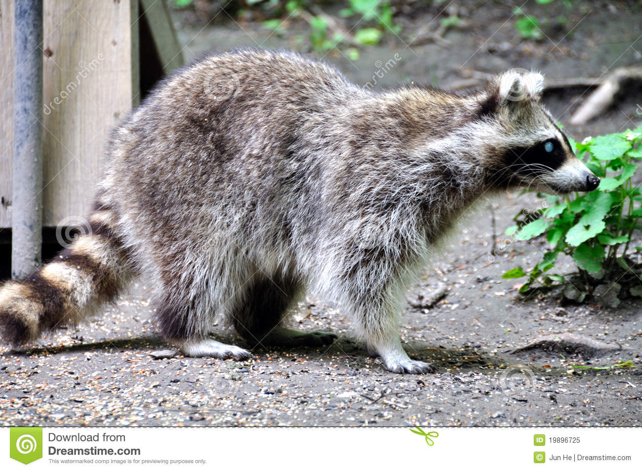 Racoon Royalty Free Stock Photo - Image: 19896725