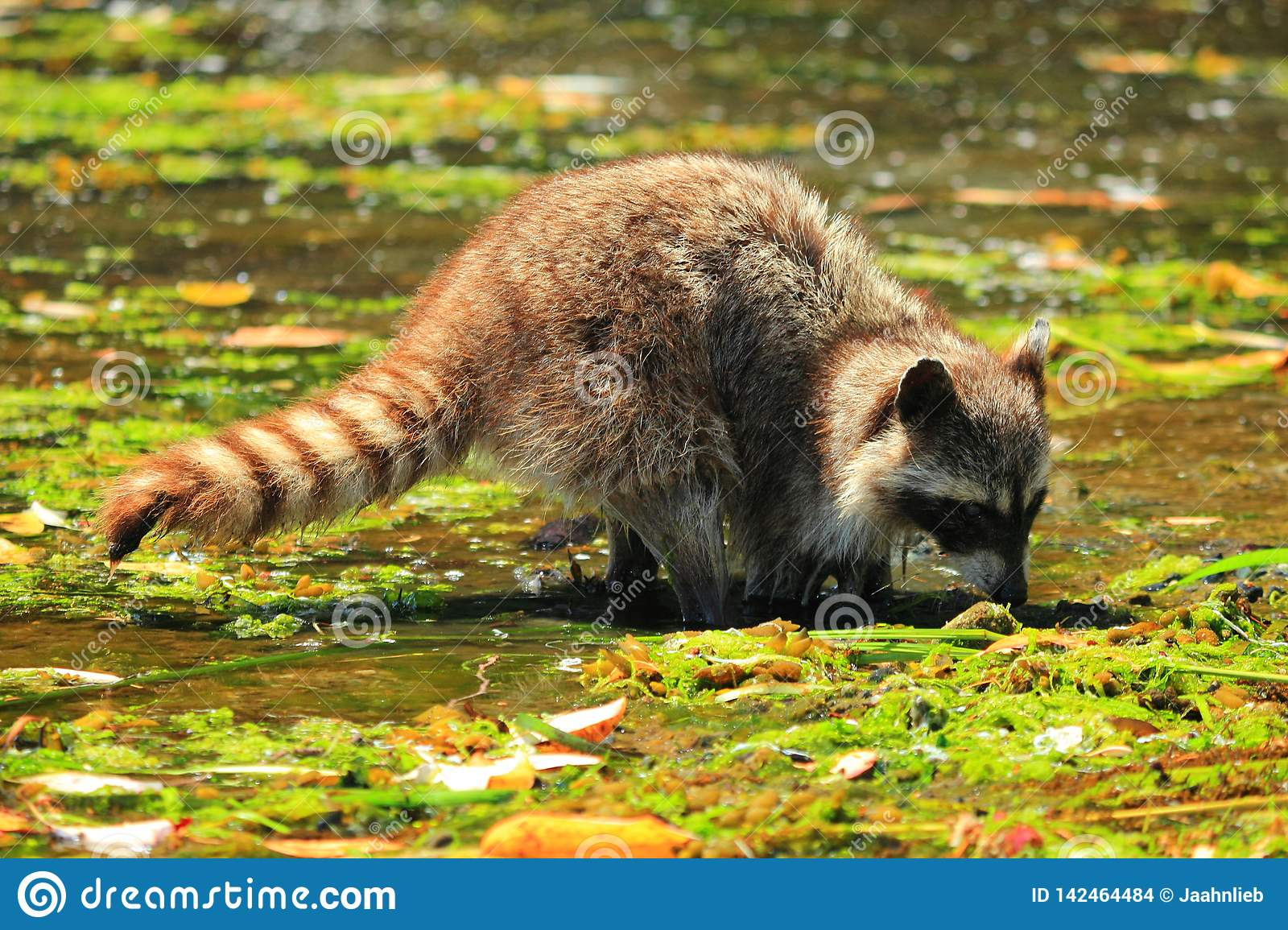 Raccoon, Procyon lotor, digging for Clams in Shallow Water at Princess Margaret Island, Gulf Islands National Park, B.C.