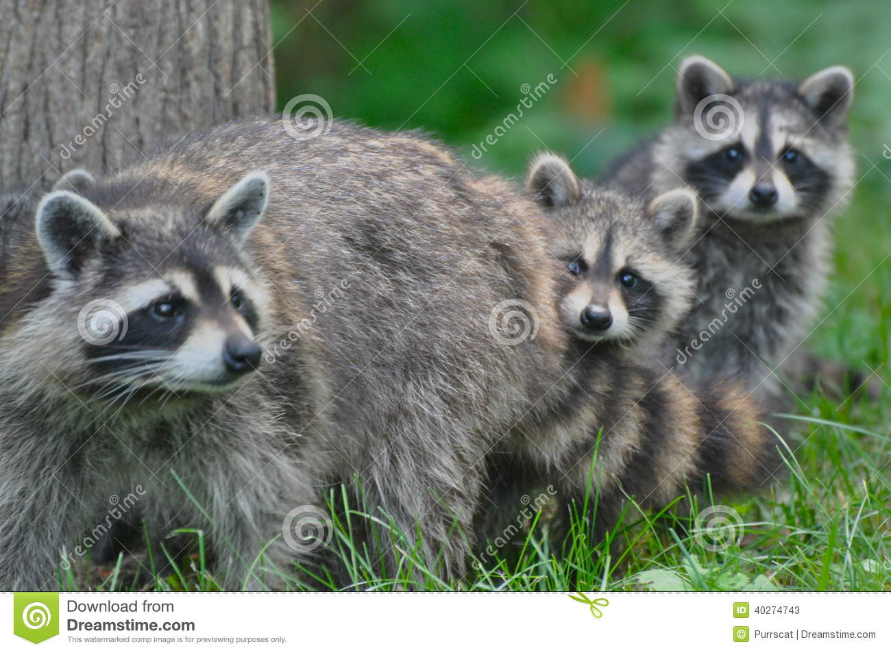 free hq baby raccoon - photo #13