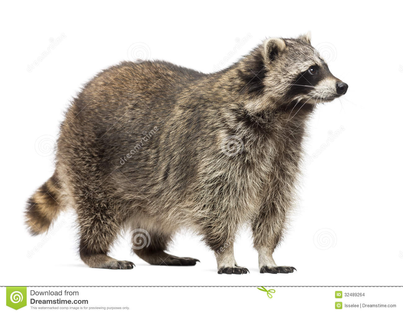 Racoon, Procyon Iotor, standing, isolated