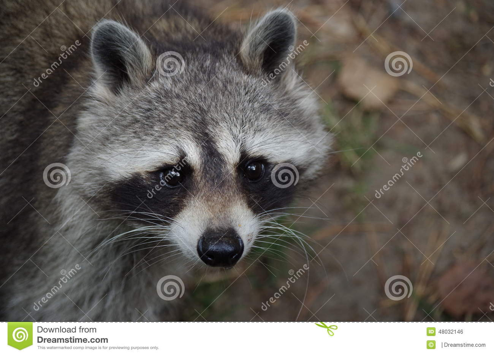 Racoon stock photo  Image of predator, racoon, raccoons