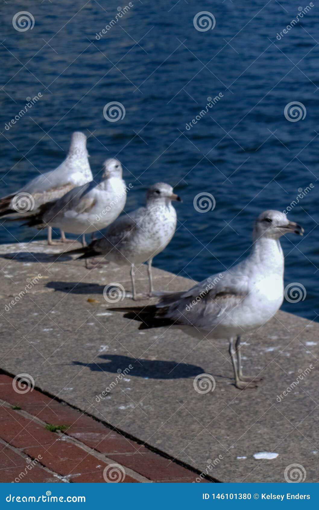 Rad av Seagulls längs pir