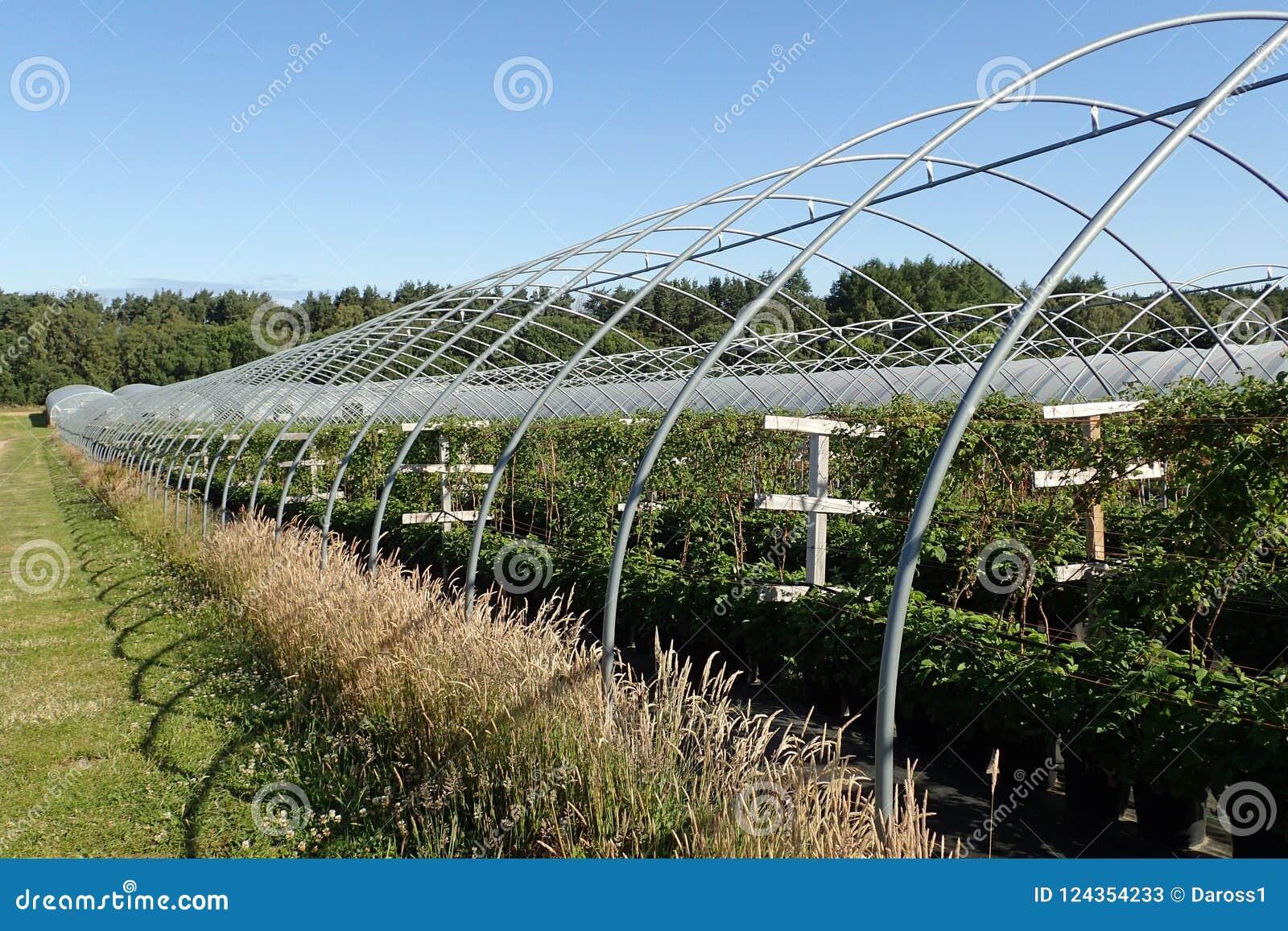 Rader av hallonväxter på en ` väljer din egen `-lantgård nära Nairn