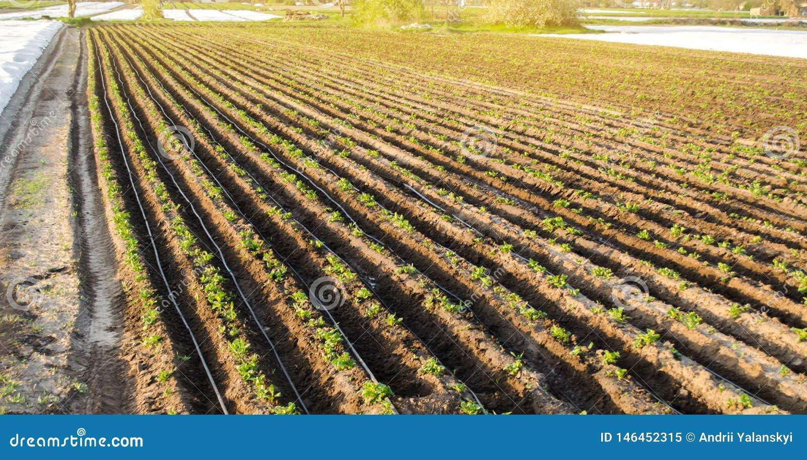 Rader av unga potatisar växer i fältet Droppbevattning Jordbruksmark åkerbrukt landskap Lantliga kolonier Lantgårdjordbruksmark