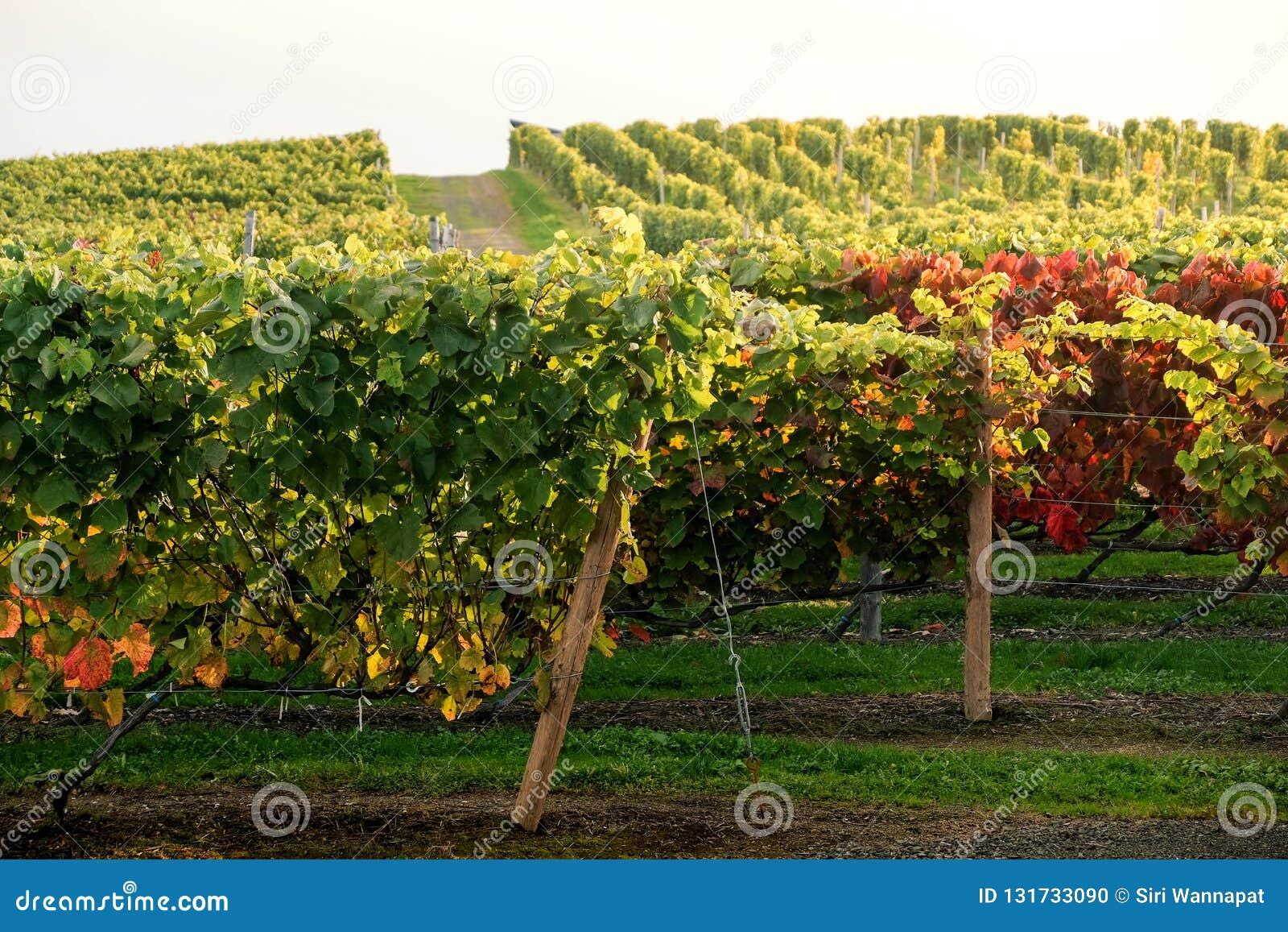 Rader av vingårddruvan i nedgång och Autumn Season Landskap av vinodlinglantgårdkolonin