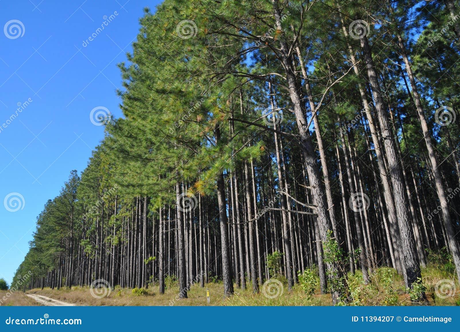 A Radiata Pine Plantation Area With Access Track Stock