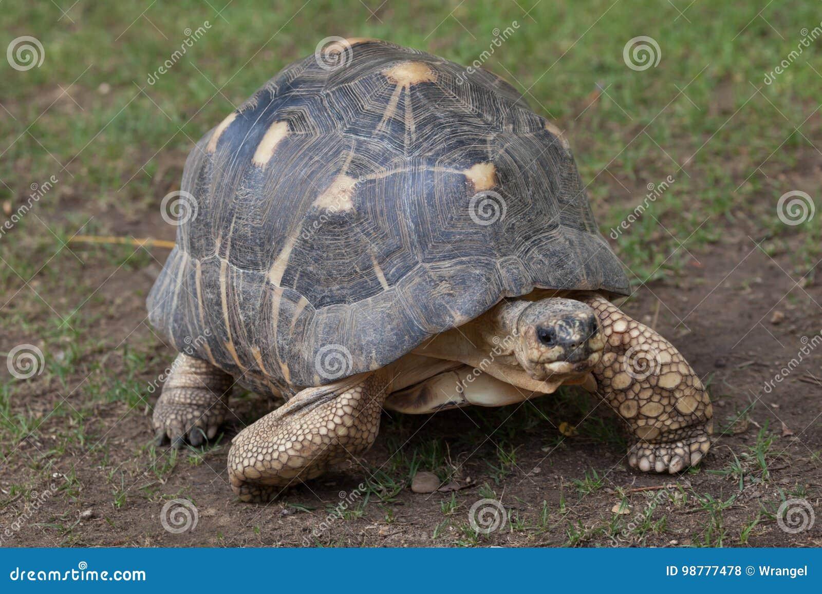 Radiated tortoise Astrochelys radiata.