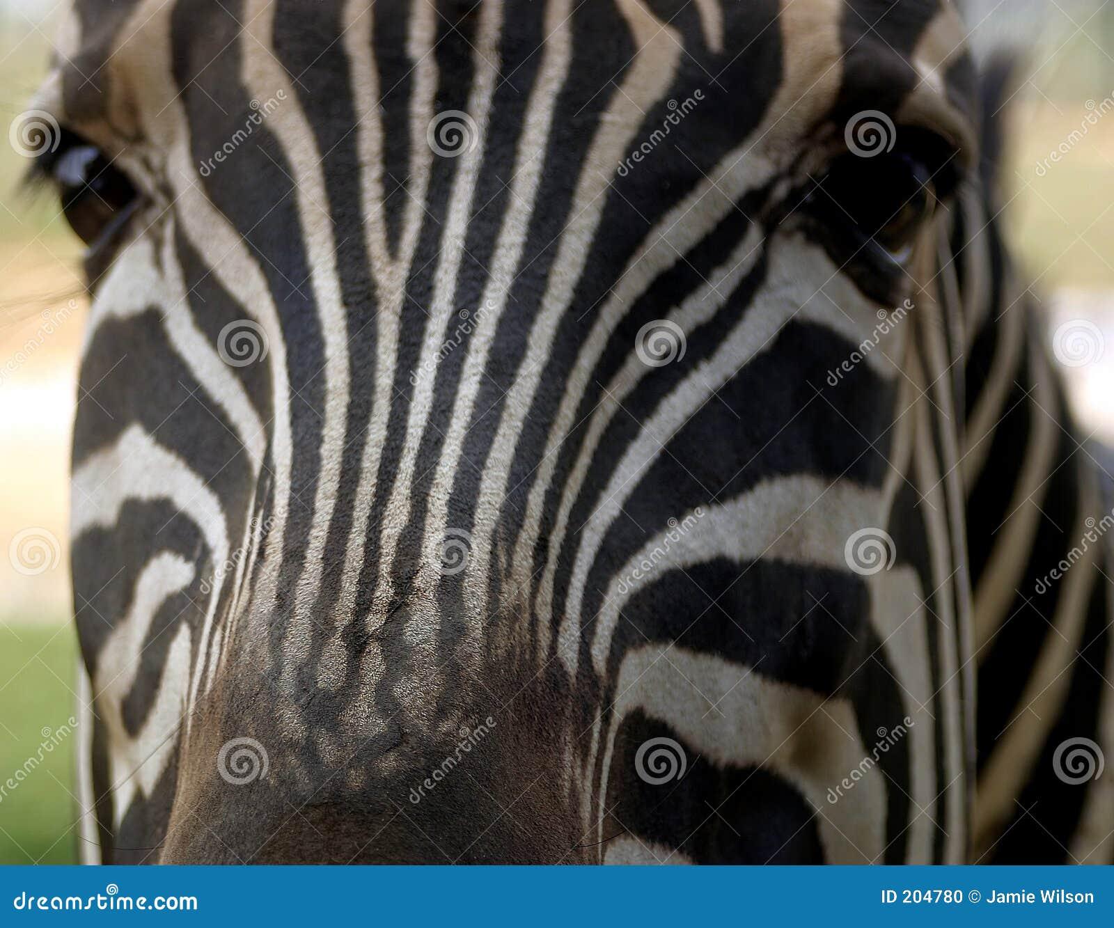 Radiatore anteriore della zebra