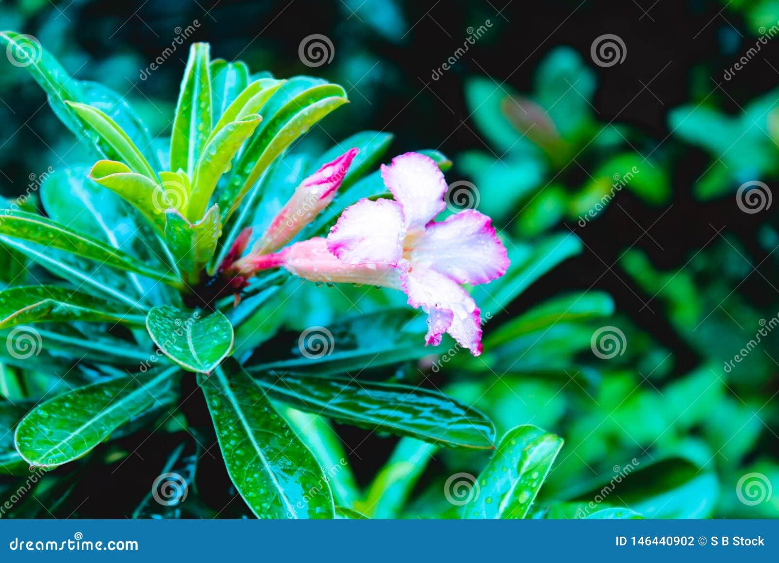 Radicans Campsis Creeper лозы трубы цветковое растение бигнониевые семьи, уроженца к США, Европы и Латинской Америки