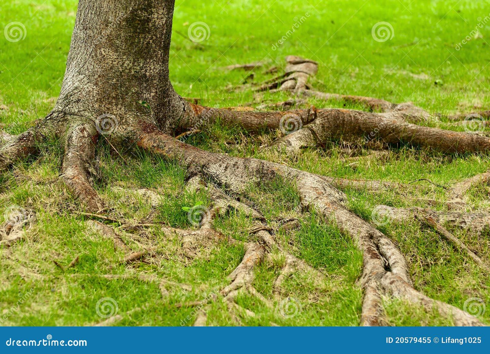 Radici dell albero