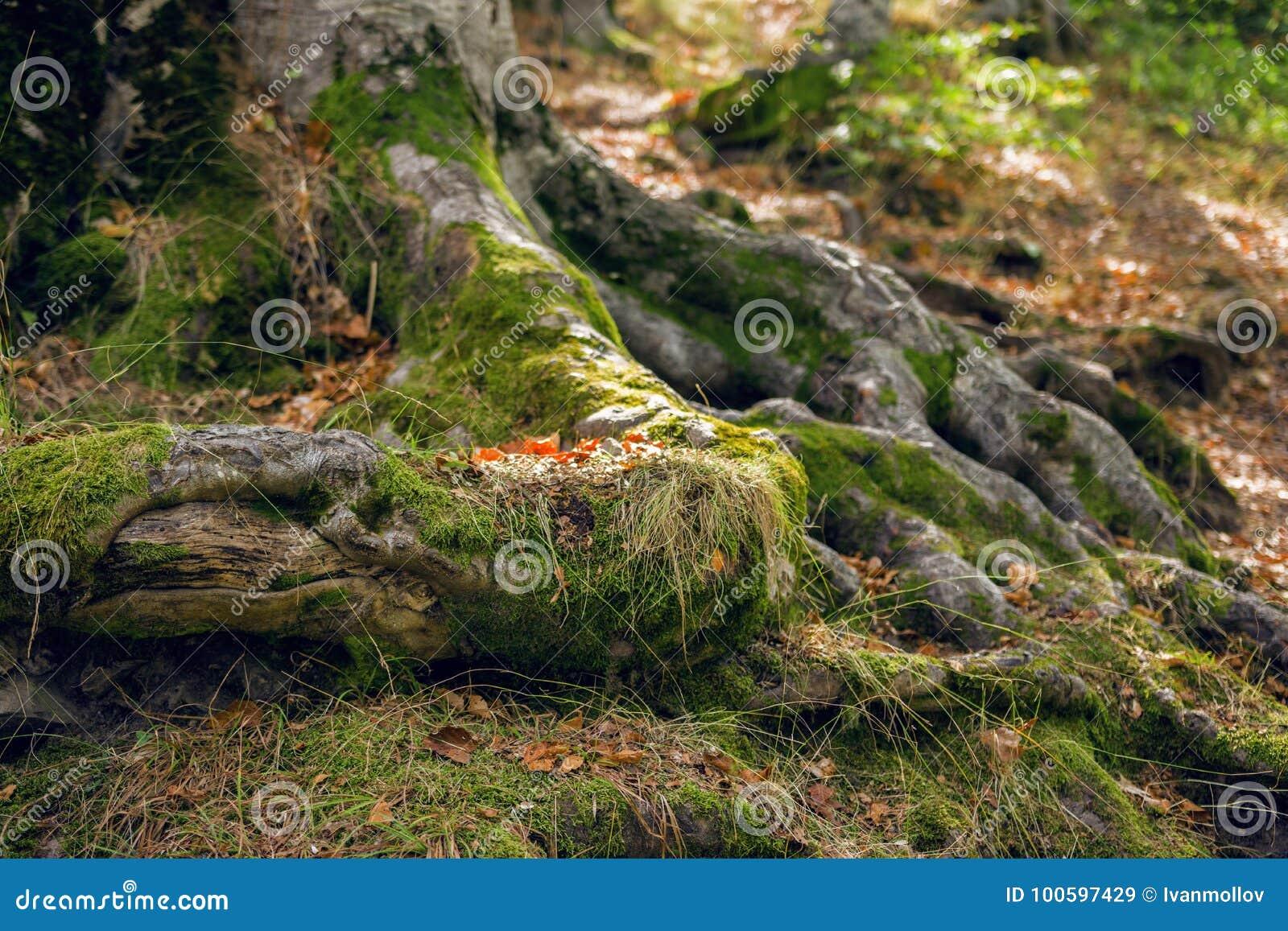 Radici dell albero con muschio