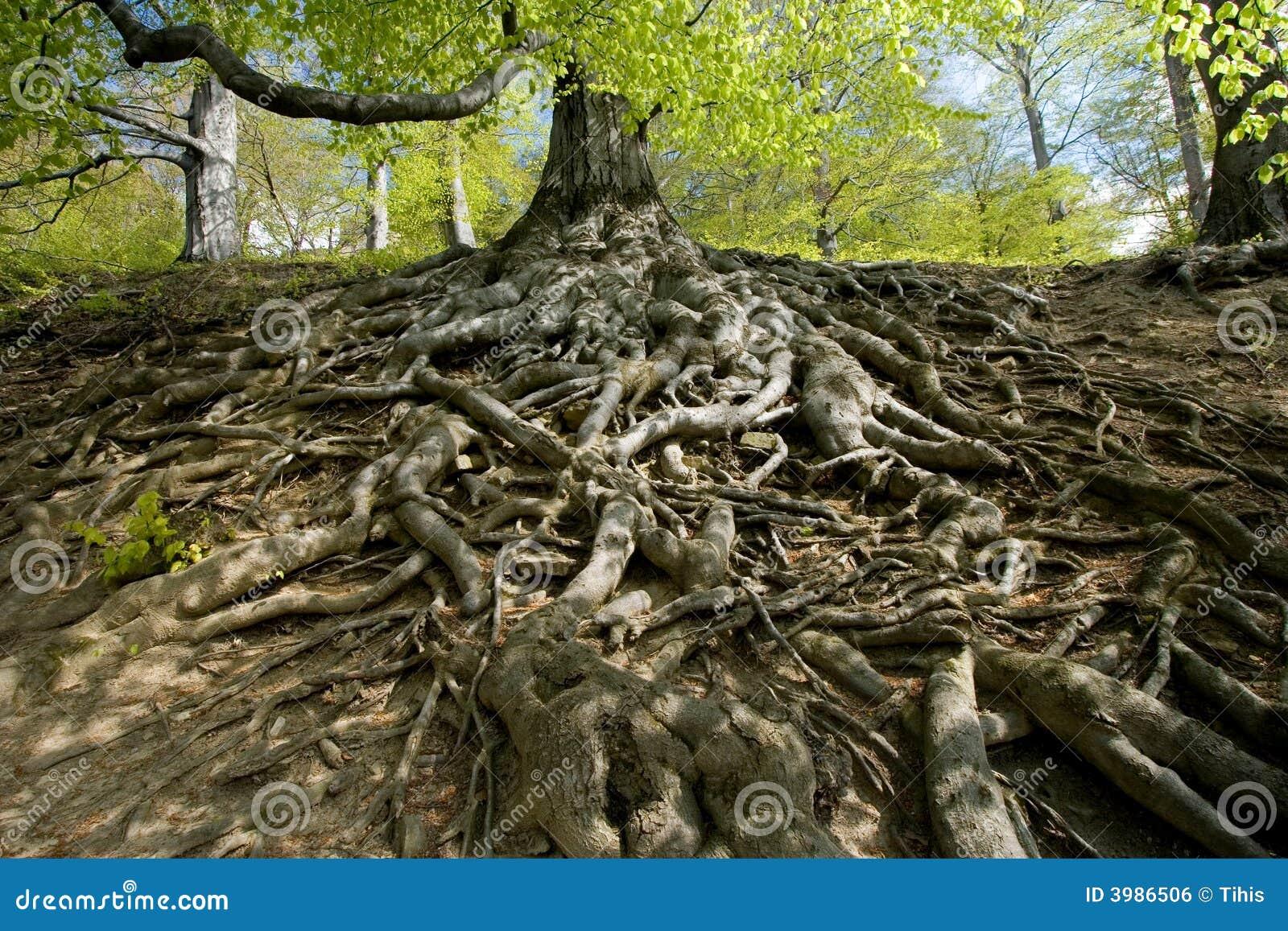 Radici dell 39 albero di faggio in foresta fotografia stock - Immagine dell albero a colori ...